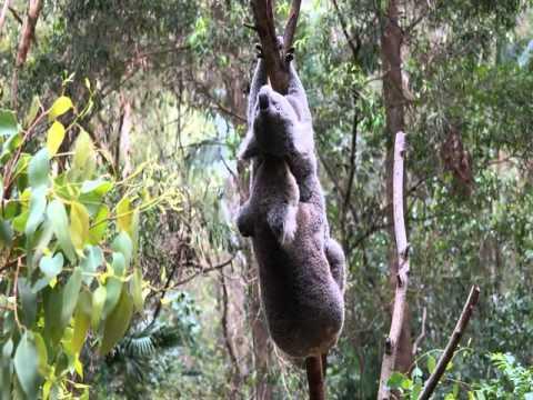 Koala sex very rare to see! Koala voice
