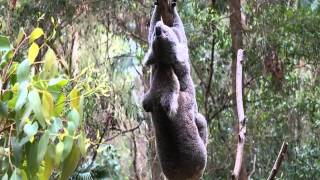 Koala sex very rare to see! Koala voice