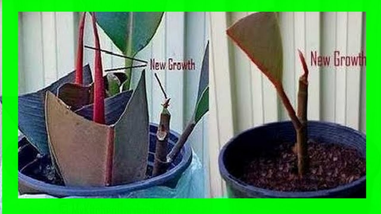 Come Riprodurre Il Ficus Benjamin how to propagate rubber plant from cuttings [tested guide]