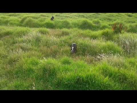 Kelpie puppy hopping through the bushes