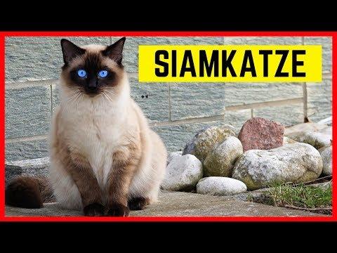 SIAMKATZE CHARAKTER & EIGENSCHAFTEN | Rasse-Portrait Siam Katze