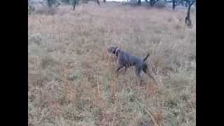 German Shorthaired Pointer Rambo Pointing Mearns Quail Pair, Braco Mostrando Codorniz Montezuma