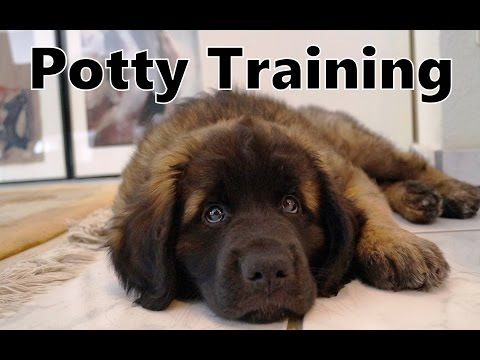 How To Potty Train A Leonberger Puppy - Leonberger House Training - Housebreaking Leonberger Puppies