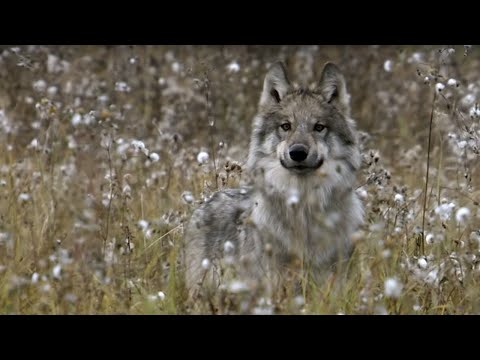 Wolves' Strategic Buffalo Hunting | BBC Earth