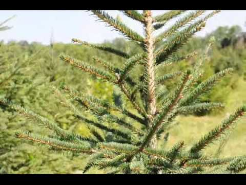Norway spruce growth