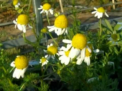 chamomile lawn how to grow