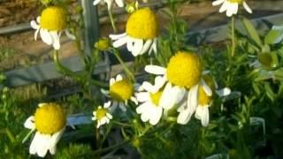 カモミールの育て方 how to grow chamomile