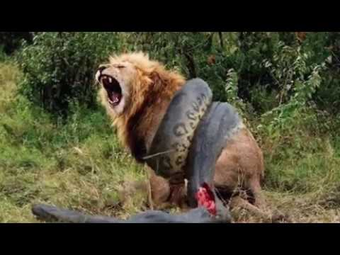 Lion Vs Anaconda Snake Real Fight Fight To Death