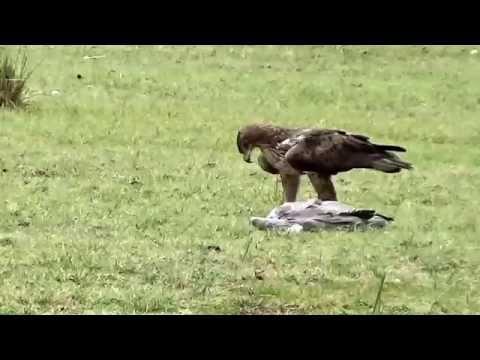 Bonelli's Eagle over Grey Heron Kill !