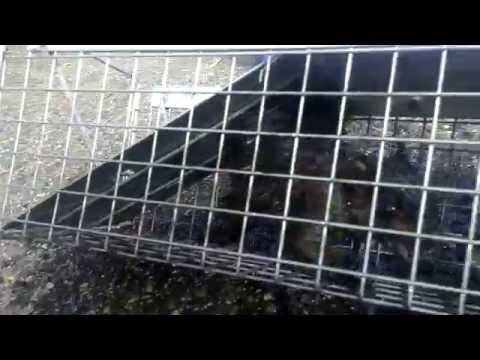 Black Squirrel Rescue and Humane Relocation Edison NJ 732-284-3807