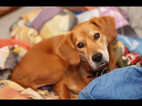 The Bogle : Beagle + Boxer