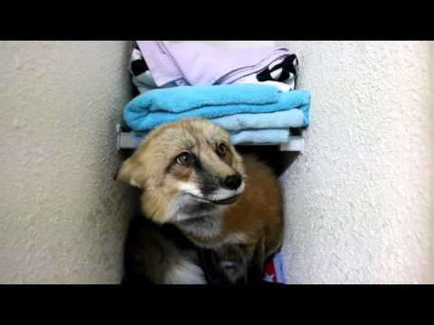 Loki The Red Fox Wants The Tag From Bracket In The Bathroom