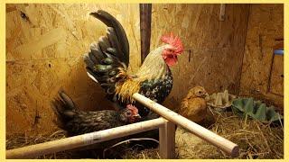Nowy Nabytek !!! *Najmniejsze kury świata*
