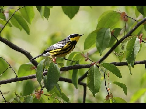Bird Watching Spring Warblers In Central Park, New York City