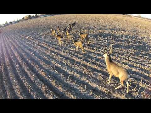 Drone scopes out mule deer