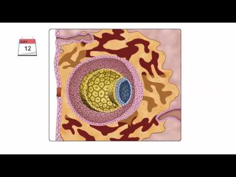 General Embryology - Detailed Animation On Second Week Of Development