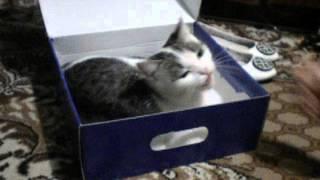Кошка играет в обувной коробке!!! Смешное видео!