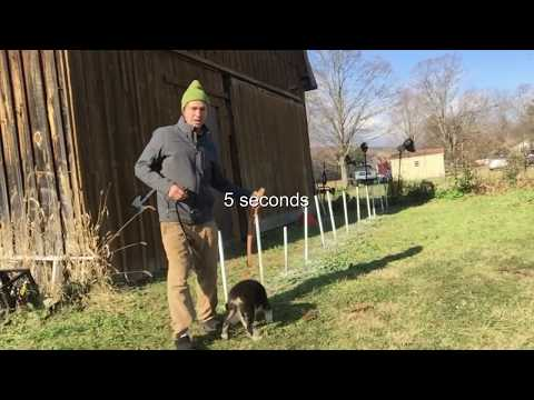 Puppy Vs Adult dog  Weave Poles