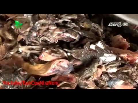 Trại nuôi rắn hổ trâu lớn nhất Hà Nội của ông Nguyễn Ngọc Quyết ở Gốc Thông Minh Phú Sóc Sơn Hà Nội