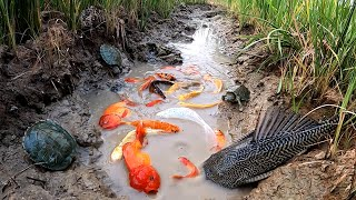 Unbelievable Fishing At Rice Fields| Turtle Koi Blood Parrot Giant Oranda Goldfish Suckermouth Betta