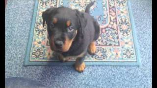 Amber My Rottweiler Growing Up.