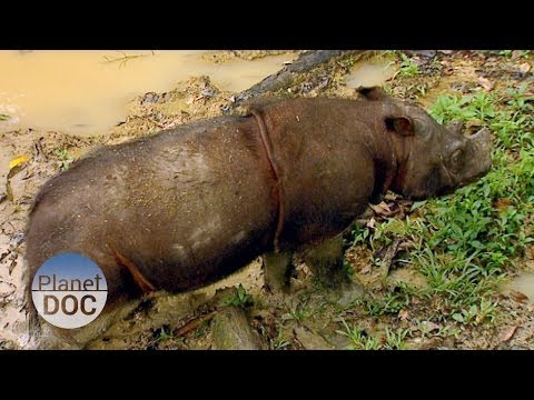 Animales Salvajes | Rinoceronte de Sumatra - Planet Doc