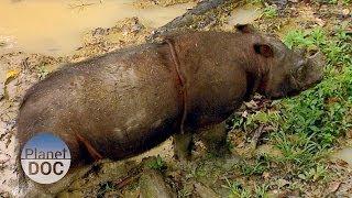 Animales Salvajes   Rinoceronte de Sumatra - Planet Doc