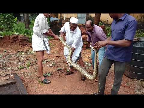 Indian Rock Python in puthiyara