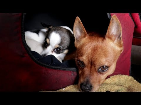 My dogs had a rough day at work. Chihuahua dogs