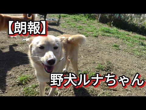 【朗報】野犬ルナちゃんに問い合わせが有りました Dog Rescue A&R