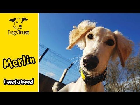 Merlin the Saluki Loves Running so Much!   Dogs Trust Glasgow