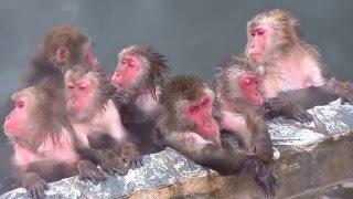 函館市熱帯植物園の猿の温泉2015/12/25