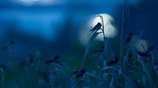 越冬地の東南アジアから繁殖のために日本に渡ってきたツバメは夜になる...
