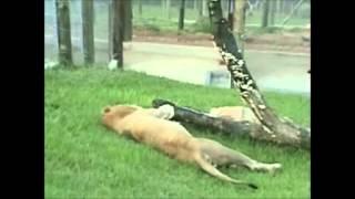 Лев, впервые за 13 лет, оказался на воле