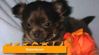 Chihuahua -welpen Aus Seriöser Zucht