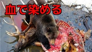 【野生動物の戦い】①グリズリーが鹿を狩る!クマ超貴重な捕食映像!②【...