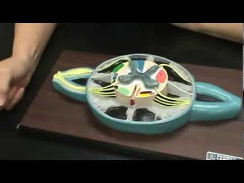 Spinal Cord Cross Section Model - YouTube