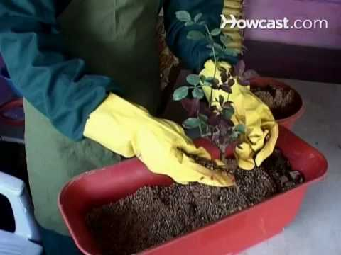How To Grow Container Roses Youtube