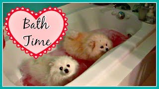 OUR POMERANIANS & YORKIE DOGS HATE BATH TIME thumbnail