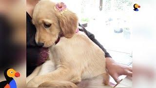 ピアノの生演奏を聞きながらぴったりひっつくゴールデン子犬