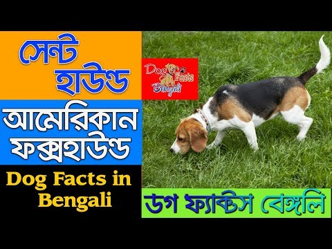 American Foxhound dog facts in Bengali | Scent Hound | Dog Facts Bengali