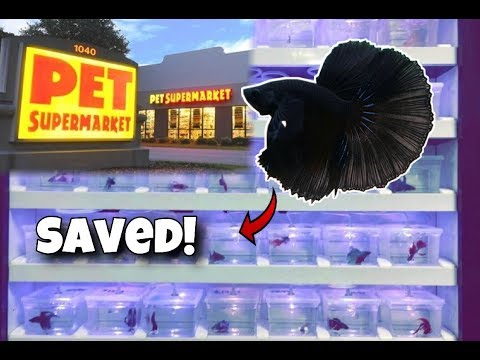 BLACK Charcoal BETTA FISH *SAVED* From Pet Supermarket!