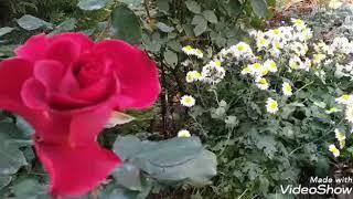 Дела садовые. Ноябрьские розы.