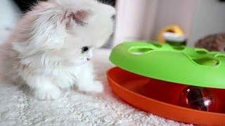 장난감공에 폭빠진 먼치킨아기고양이 몽이