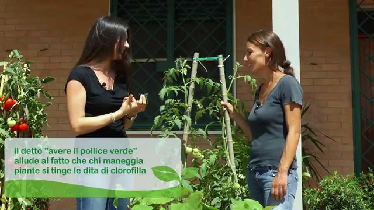 Come Coltivare Pomodori Sul Balcone coltivate pomodoro sul balcone