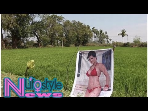 Indian farmer believes photo of adult film star saved his crops