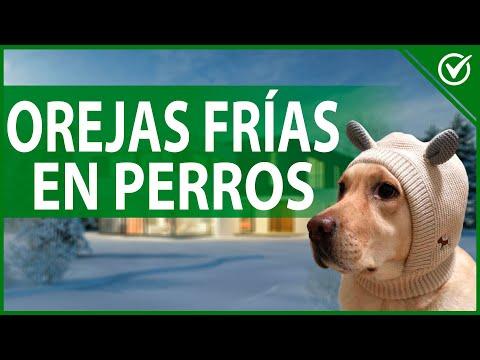 ¿Por qué mi Perro Tiene las Orejas Frías? Cómo Hacer que Entre en Calor para no Llegar a Hipotermia