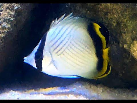フウライチョウチョウウオ Vagabond Butterflyfish Chaetodon Vagabundus