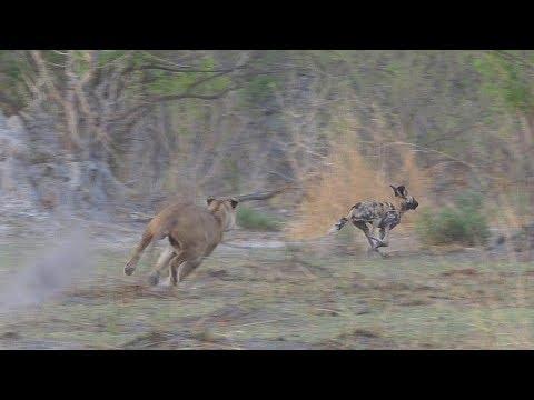 Wild Dogs Vs. Lions, Moremi