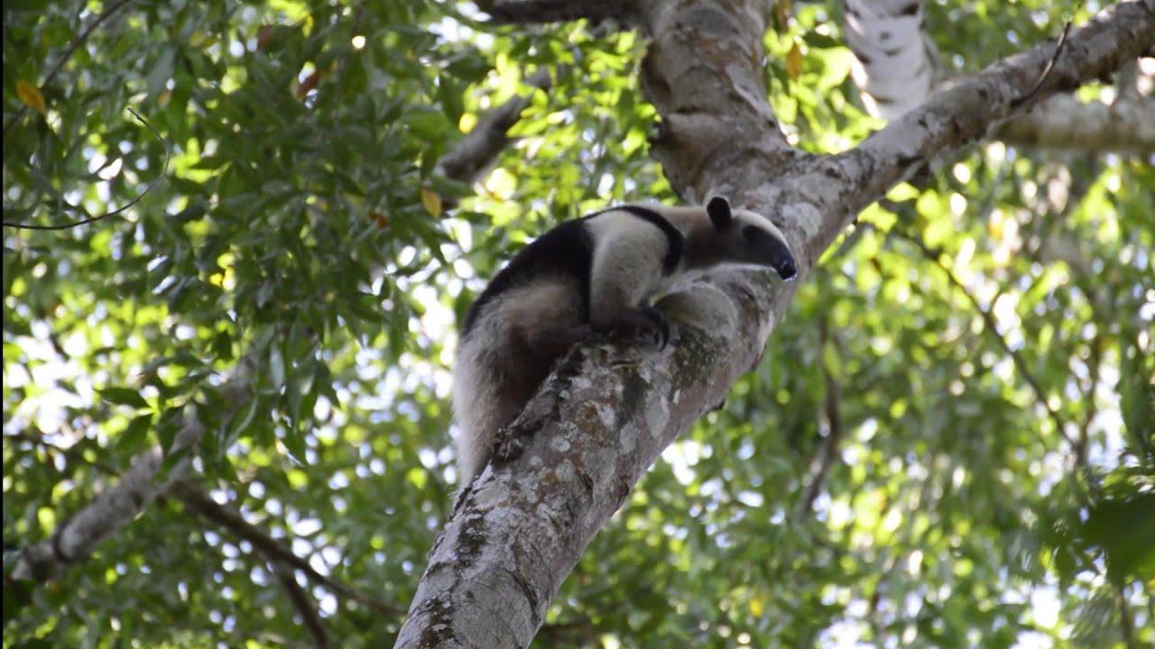 Download El gran abrazo de un Oso Hormiguero | Tamandua mexicana #osohormiguero #selvalacandona #fauna